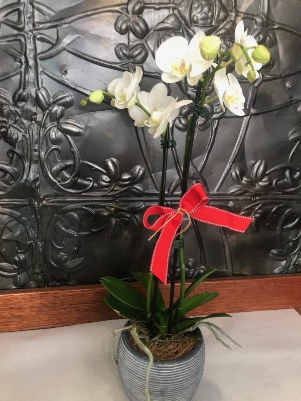 Christmas flowers, Christmas gift, Orchid plant, flower delivery Tamworth, Tamworth flowers, Tamworth florist,