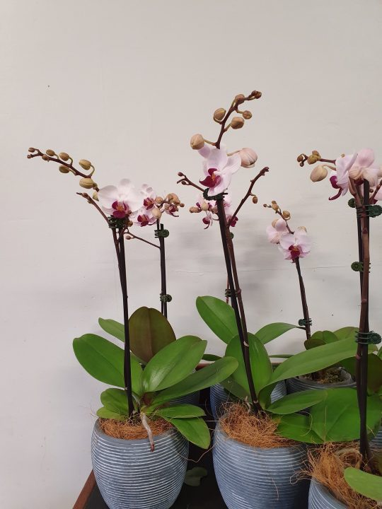 orchid plant, orchid, phalaenopsis orchid, tamworth plants, plant gift, indoor plants, mothers day gift, mothers day, tamworth florist, mothers day delivery, tamworth plants, florist tamworth