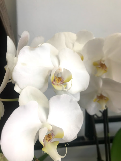 orchid, orchid plant, flowering plant, flower delivery, tamworth florist, florist tamworth, tamworth plants