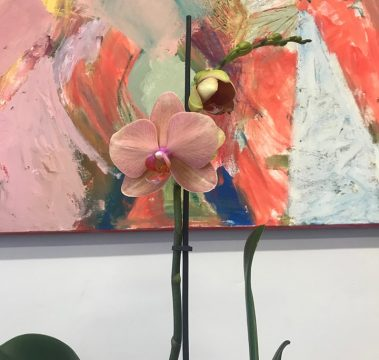 mothers day, mothers day gift, orchid plant, tamworth florist