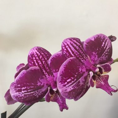 tamworth flowers, tamworth florist, florist tamworth, flower delivery Tamworth, indoor plant, flowering plant, tamworth gift, tamworth plant,