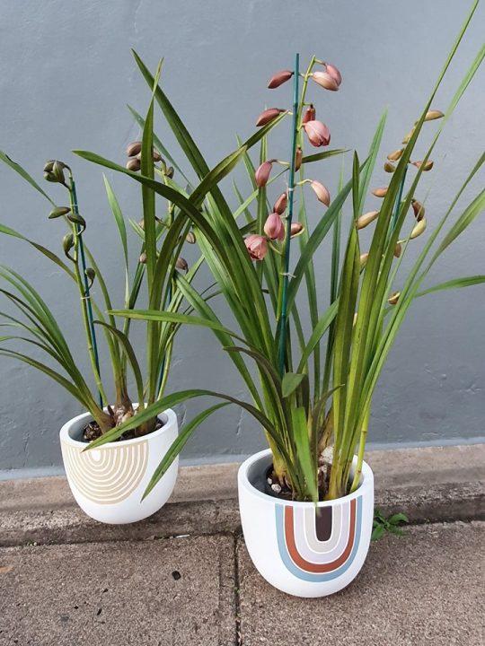 cymbidium orchid, orchid plant, flowering plant, tamworth plants, tamworth gift, plant gift, plants delivered, tamworth florist, flower delivery, plant delivery, plant delivery tamworth, plant delivery