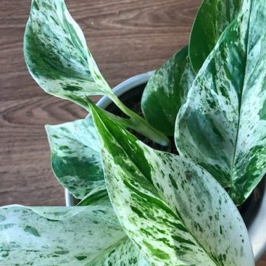 devils ivy, marble queen, CIPPA, indoor plant, indoor plants, tamworth plants, plant delivery, indoor plants tamworth, gift delivery, tamworth plants, tamworth florist, plants