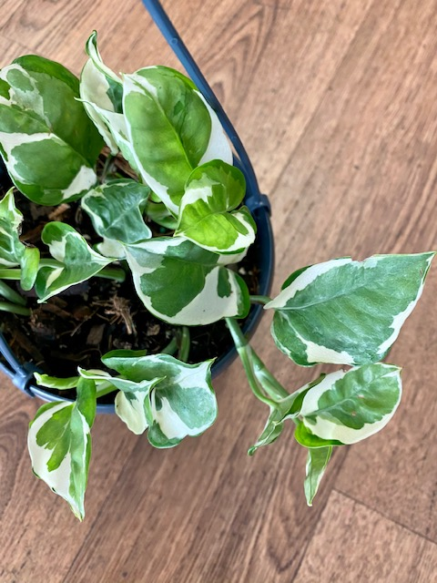 Indoor plant, plant gift, tamworth plants, plant gift, indoor plants, snow queen pothos, plant delivery tamworth, gift delivery, local gift, shop local,