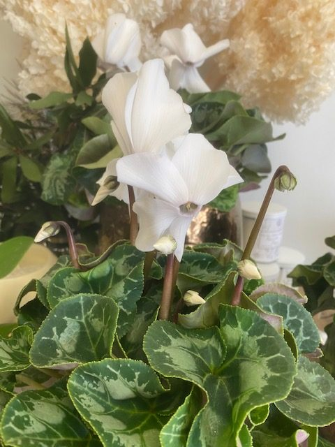 cyclamen, potted plant, plant delivery, tamworth plants, tamworth florist