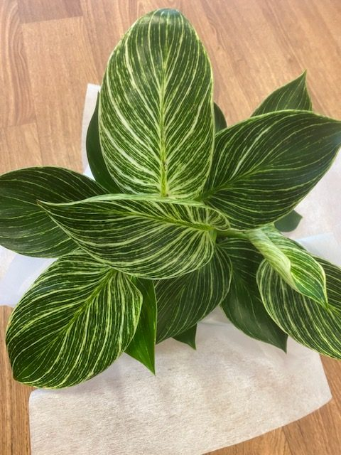 Green thumb, Tamworth florist, indoor plant, indoor plants tamworth, tamworth plants, plant delivery, Mothers day plant, indoor plant delivery, Crazy Indoor Plant people, Philodendron Birkin