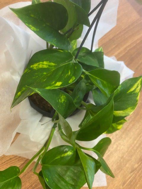 Devils ivy, indoor plant, plant delivery, indoor plants tamworth, tamworth plant delivery, indoor plants, mothers day plants, mothers day gift, indoor plant, CIPPA,