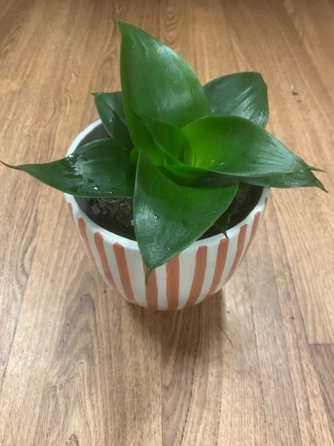 indoor plant, indoor plants tamworth, tamworth plants, plant delivery, tamworth plants and gifts, tamworth gifts, gifts and hampers, Botanical gifts, tamworth florist
