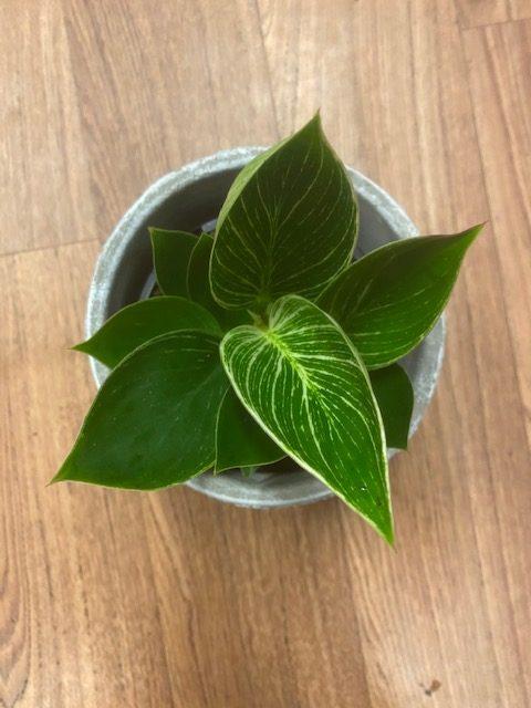 tamworth florist, tamworth plants, plant delivery, indoor plants, indoor plants tamworth, botanic gift,